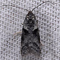 Unknown moth - Lotisma trigonana
