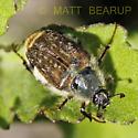 Beetle - Lichnanthe