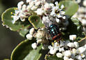 Fly on Buckbrush - Cochliomyia macellaria