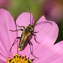 golden flower longhorn beetle - Lepturobosca chrysocoma