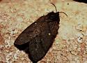 Huge Fuzzy Brown Moth - Gloveria gargamelle
