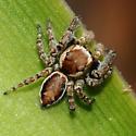 jumping spider - Evarcha proszynskii