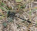 Dragonfly2 - Arigomphus villosipes