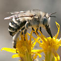 Bee on Pine-Bush - Anthophora urbana - female