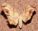 Alien Probole Moth - Probole amicaria