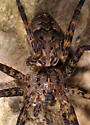Brown Fishing Spider - Dolomedes tenebrosus