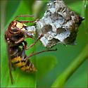 European Hornet Attack on Paper Wasp Nest - Vespa crabro