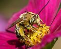 Longhorn Bee? - Svastra obliqua - male