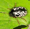Calligrapha Beetle (Calligrapha sp) - Calligrapha
