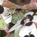 Small Wasp on Small Chamaesyce flowers