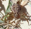 X. locuples female - Xysticus locuples - female