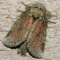 Wavy-Lined Heterocampa Moth - Hodges#7995 - Heterocampa biundata - male