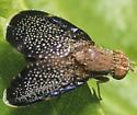 Fruit Fly - Eutreta