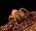 Spider ID - Ariadna bicolor