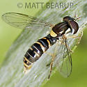 Small Fly - Sphaerophoria sulphuripes