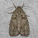 Medium Dagger Moth – 9244  - Acronicta modica