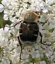 Beetle [Trichiotinus? piger??] ID Request - Trichiotinus piger