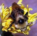 Bombus insularis - female