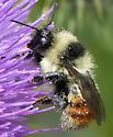 Bumblebee - Bombus - female