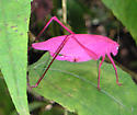 Pink Katydid - Amblycorypha oblongifolia