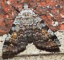 Moth to porch light - Idia americalis
