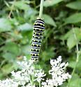 Great, Yellow, Black caterpillar - Papilio polyxenes