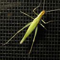 Snowy Tree Cricket? - Oecanthus - female