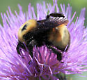MT207 - bee - Bombus nevadensis