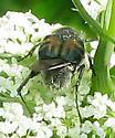 Beetle (Trichiini) - Trichiotinus