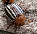 Potato Beetle #2 - Leptinotarsa juncta