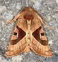 Conservula anodonta ? - Conservula anodonta
