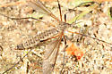 Crane Fly - Tipula dietziana