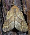 Unknown Moth - Malacosoma disstria - female