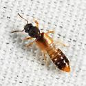 rove beetle - Bledius analis - female