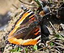 need butterfly ID - Aglais milberti