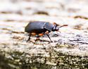 Beetle on Fence Post - Haplandrus fulvipes