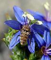 Geminaria canalis - female