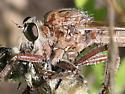 Unsure - Proctacanthus milbertii - female