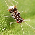 Spotted Aphid - Drepanaphis