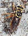 robber fly? - Laphria saffrana