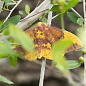 #7704 - Eacles imperialis? - Eacles imperialis