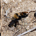 ID for a bee? - Melecta separata - female