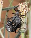 - - Cysteodemus armatus - male - female