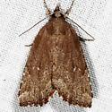 Cypress Looper Moth - Cutina albopunctella