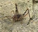 camel cricket - Diestrammena asynamora - female