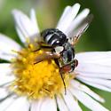 Stubby black fly on Symphyotrichum lanceolatum - Gymnoclytia occidua