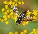Syrphidae Genus Pipiza - Pipiza - female