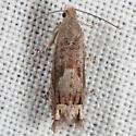 Ragweed Borer Moth - Epiblema strenuana