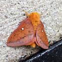 Uknown Moth - Anisota stigma - male