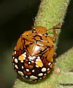 Stink Bug nymph - Chinavia marginata